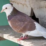 A Pets Pigeon
