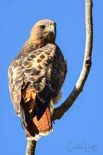 Red-tailed Hawk, Coldstream, BC | by carlahuntphotography