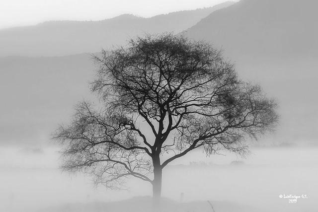 Árbol y neblina al Amanecer - Lerma - México