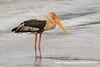 Painted Stork (Mycteria leucocephala) DSD_5234 by fotosynthesys