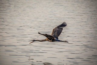 Grey heron in motion. | by Knoxville_Photographer