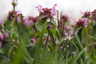 lamium purpureum   by wjrpics