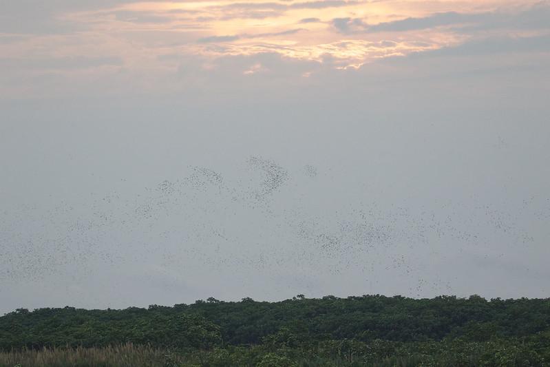 White-winged Parakeet, Brotogeris versicolurus (flying to the roost) Ascanio_Peruvian Amazon 199A6595