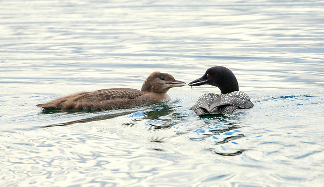 Common loon with young / Himbrimi með unga (Gavia immer)