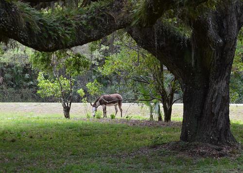 alva florida donkey tuckahoe
