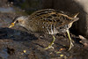 Spotted crake by ramosblancor