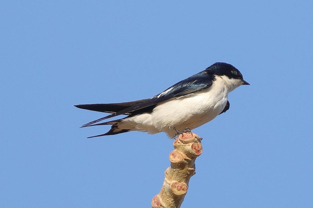 Pied-winged Swallow  Hirundo leucosoma