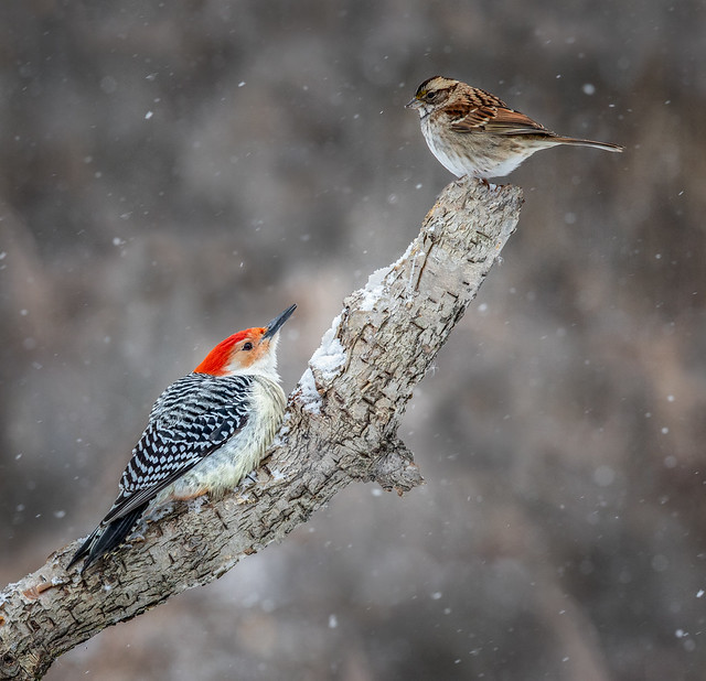 Red-Bellied & Tree Sparrow