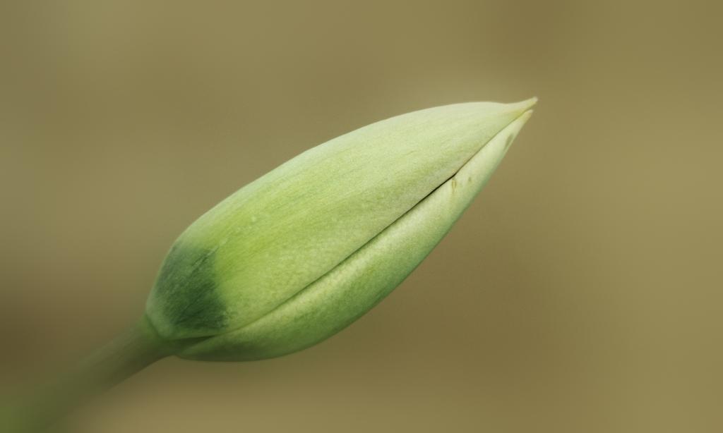 Geschlossene Tulpe 2019