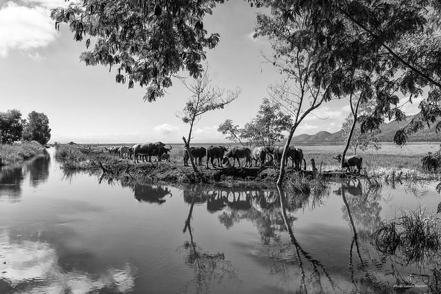 Water Buffalo herd in Burma