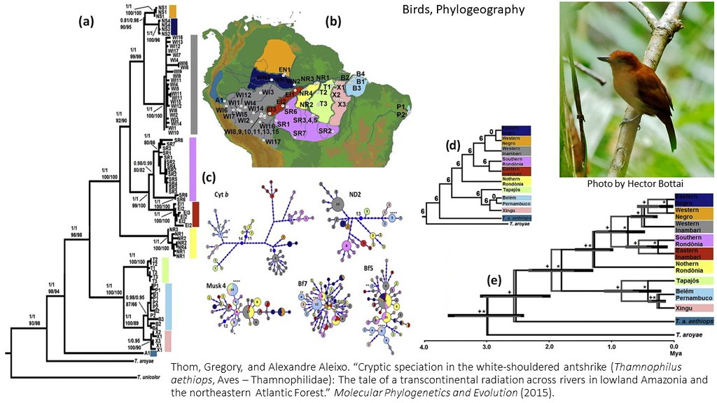 Thom and Aleixo 2015 - Cryptic speciation in Thamnophilus aethiops