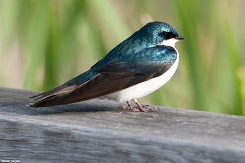 îlebizard oiseau bird