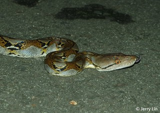 Reticulated Python   by Jerry Lin.