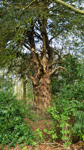 Veteran yew, Pendeford Mill LNR