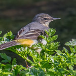 DSC8286  Grey Wagtail..