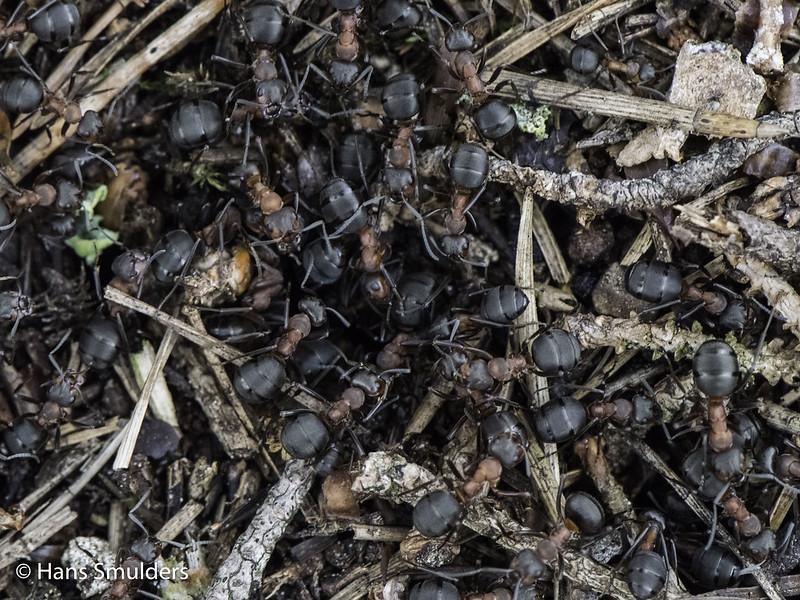 Behaarde bosmier (Formica rufa)-819_0589