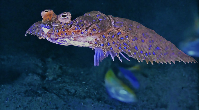 French Polynesia - Very strange flat fish!
