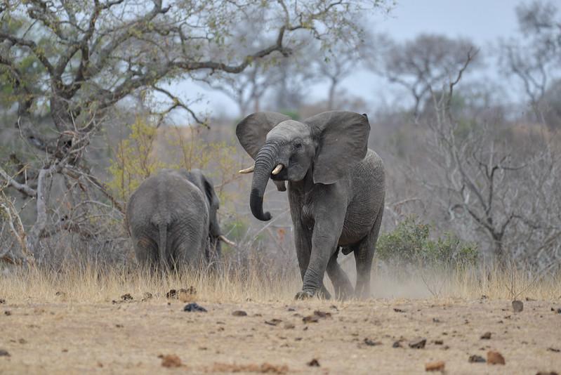 2247 Elephant