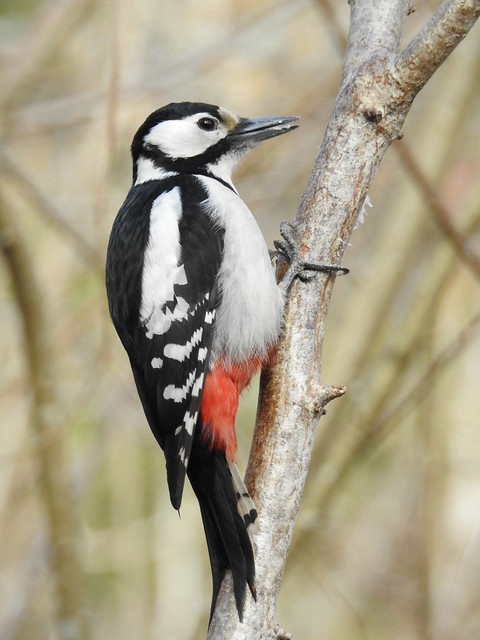 Great Spotted Woodpecker ♀ (Dendrocopos major)