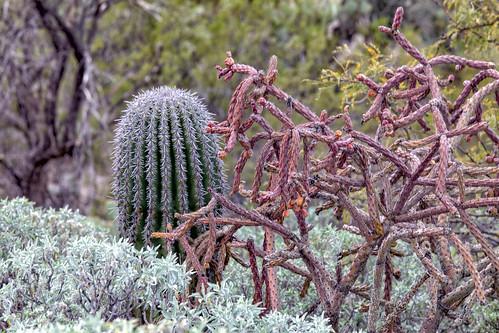 tucson arizona unitedstatesofamerica saguaronationalpark barrelcactus chollacactus