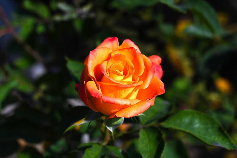 Обои rose, flowers, beauty, bokeh картинки на рабочий стол, раздел цветы - скачать