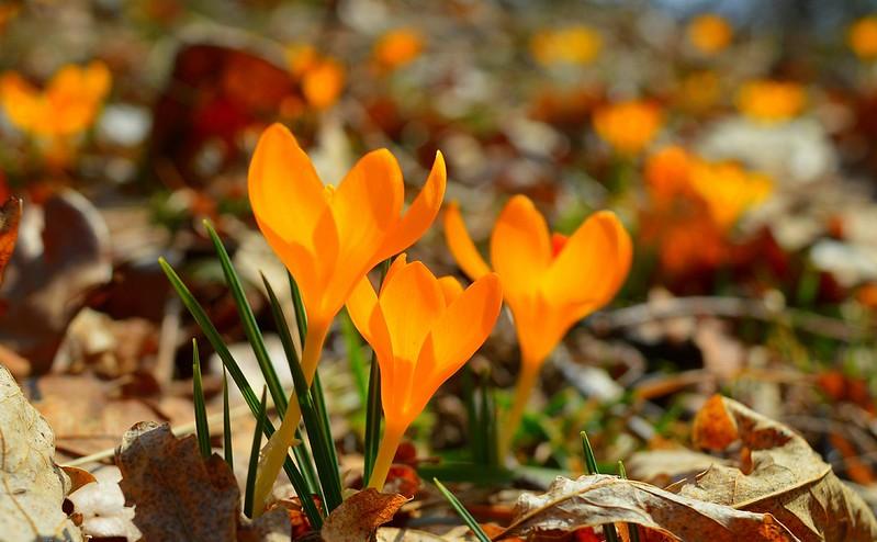 Обои Крокусы, Crocuses, Жёлтые цветы, Yellow flowers картинки на рабочий стол, раздел цветы - скачать