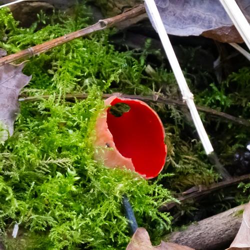 Scarlet elf cups, Compton Rough