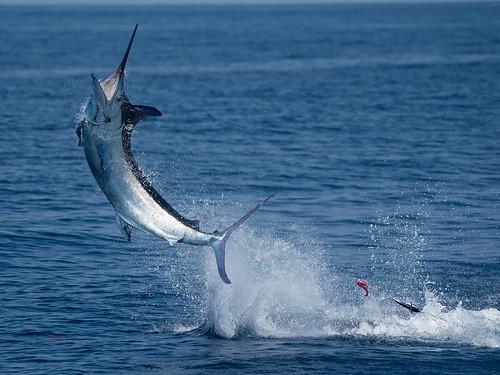 Blue Marlin / Marlin Azul