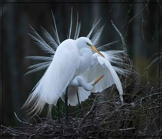 She would impress...Nesting pair of Great Egrets!