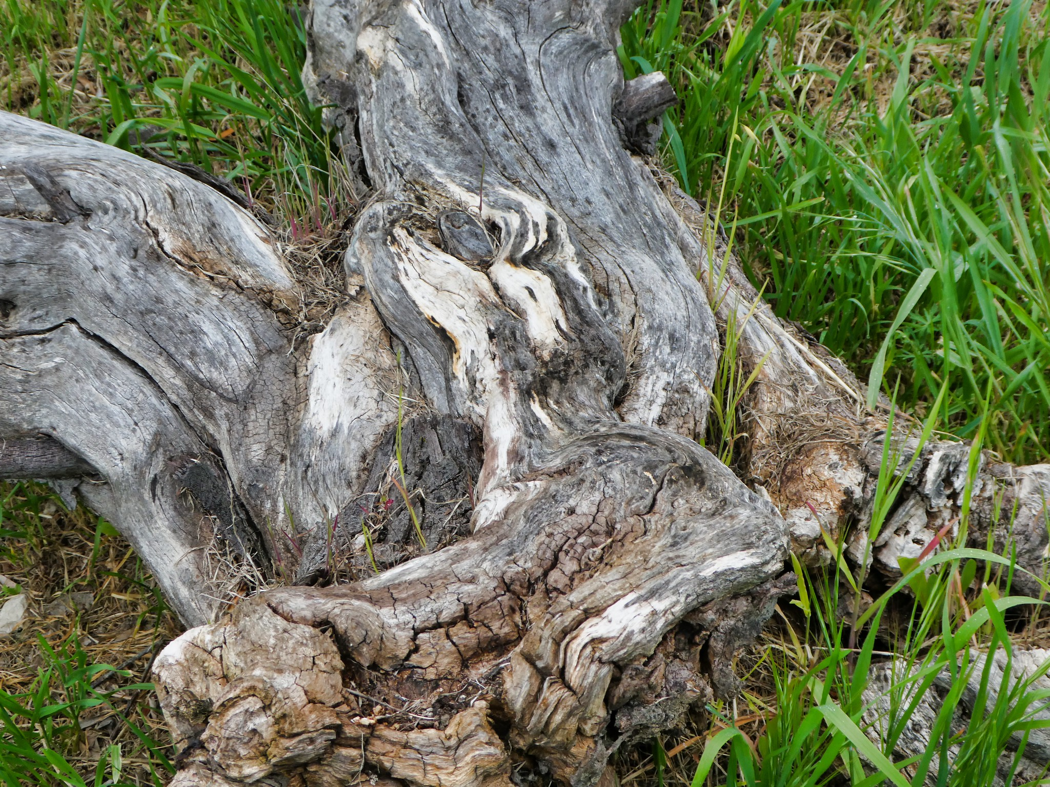 2019-03-22 - Nature Photography - Trees - Special Tree Trunk
