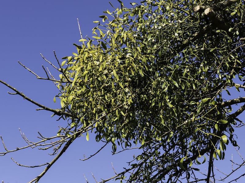 Mistletoe / Maretak (Viscum album)-819_0699