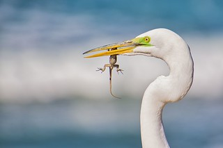 Egret with Lizard | by Randy Bayne
