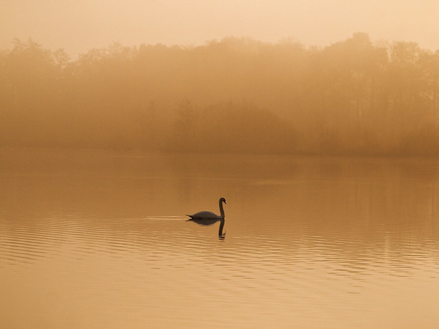 2018-12-27_14.09 Swan Mist Bird, Fleet Pond, Hampshire, UK (E-PL1)