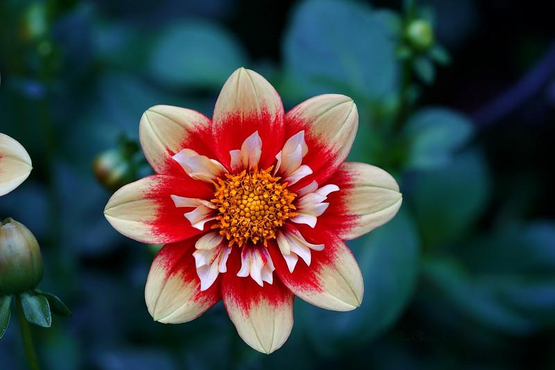 Обои цветок, flower, георгина картинки на рабочий стол, раздел цветы - скачать
