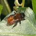 Andrena fulva (Tawny mining bee)
