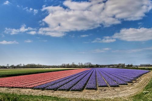 Hyacinth fields | by wimkappers