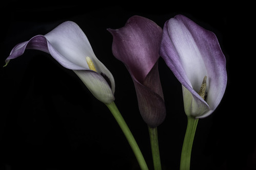 The Calla Lily Trio In The Light | by Bill Gracey 23 Million Views