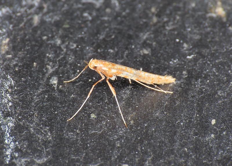 15.005 Caloptilia betulicola/elongella