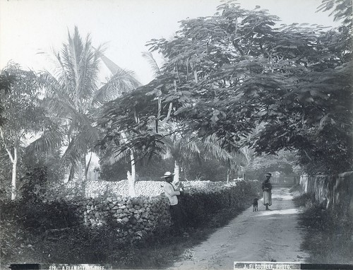 J.F. Coonley - A Flamboyant Tree, ca 1890   by The Caribbean Photo Archive