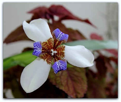Neomarica gracilis - Page 2 40492449803_3f7983293a