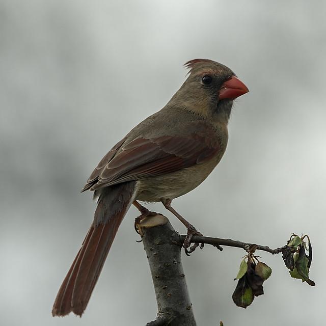 Cardinal_3821