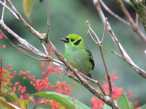 Emerald Tanager | by mggoodwin56