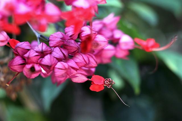 龍吐珠   Clerodendrum thomsoniae
