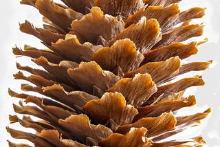 Fir Cone - close up