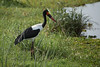 Saddle-billed stork, Lake Manyama by jcross70