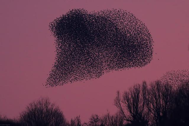 Starlings RSPB Leighton Moss 230219c