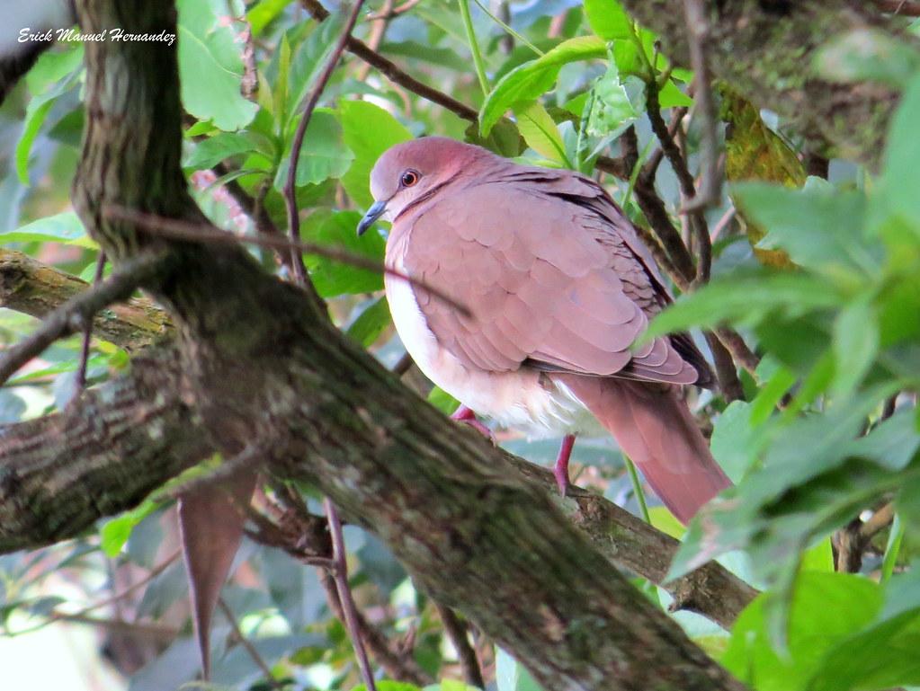 "paloma-arollera / White-tipped Dove ""Leptotila verreauxi"""