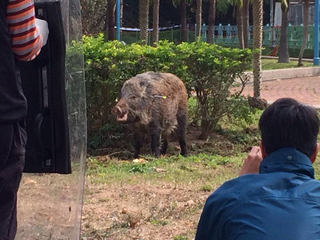 圖片來源:香港野豬關注組臉書