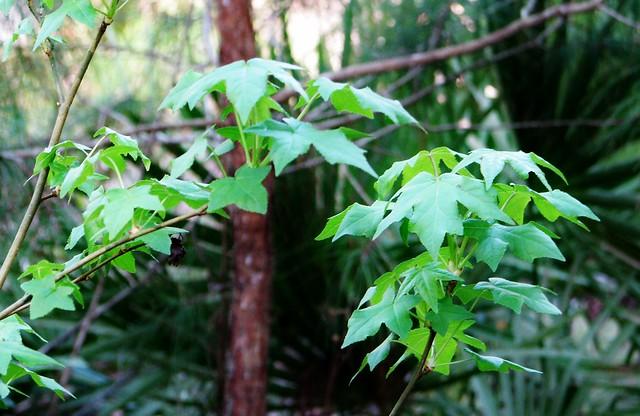 Acer sp. --  Maple Tree 2750
