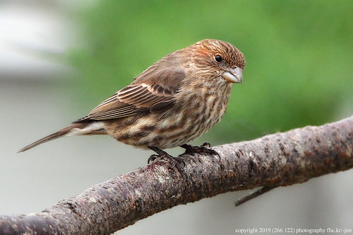 2019-01-24 House Finch (1024x680) | by -jon